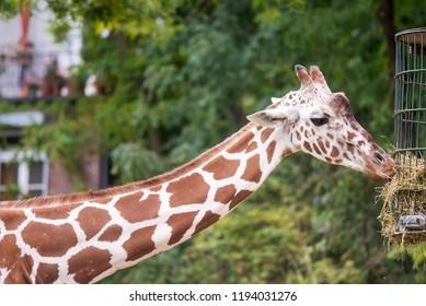 giraffe in zoo, eating