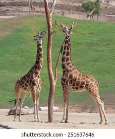 Giraffe in zoo feeding on grass and hay