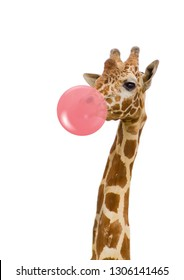 giraffe in zoo isolated chewing pink bubble gum