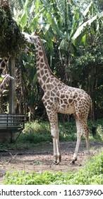 Giraffe at zoo Malaysia