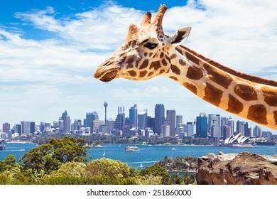 Taronga Zoo High Res Stock Images Shutterstock