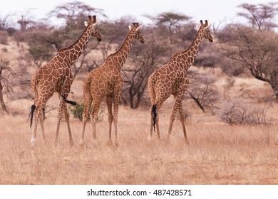giraffes, Aberdare, kenya