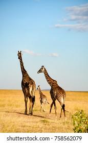 Giraffes in african jungle