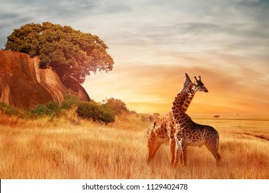 Giraffes in the African savannah. Beautiful african landscape at sunset. Serengeti National Park. Africa. Tanzania.