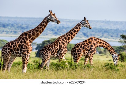 Giraffes against the background of the Nile River. Africa. Uganda. Murchinson Falls National Park. An excellent illustration.