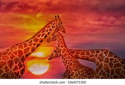 Giraffes against the sunset sky. African background
