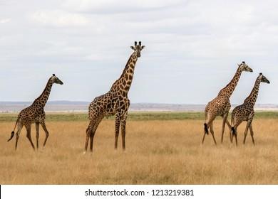 Giraffes in Amboseli National Park (Kenya)