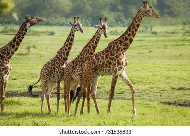 Giraffes in Arusha National Park - Tanzania