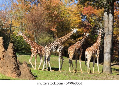 Giraffes at the Asheboro Zoo