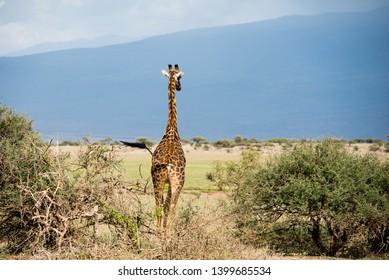 Giraffe's back in Serengeti savannah against big mountain on the background
