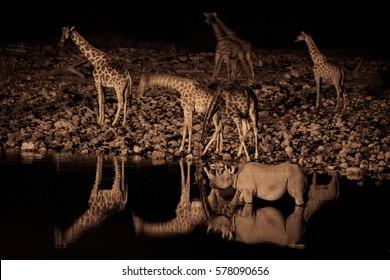 Giraffes and a black rhinoceros at a waterhole at night. Namibia.