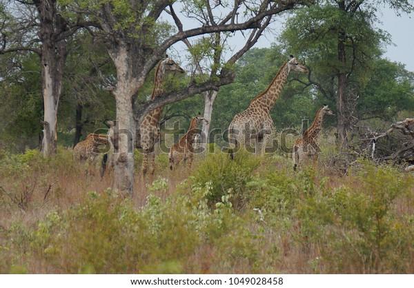 Giraffes in brush at Kruger National Park in South Africa