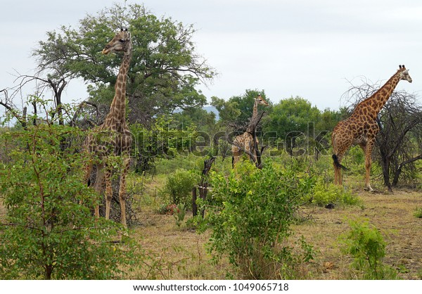 Giraffes in brush at Kruger National Park in South Africa