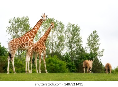 Giraffes and  Common Elands Grazing