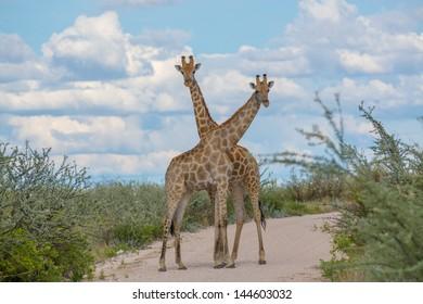 Giraffes crossing necks Two giraffes crossing necks in the road