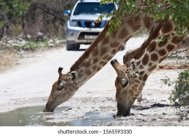 Giraffes are drinking just from road pools, Namibia