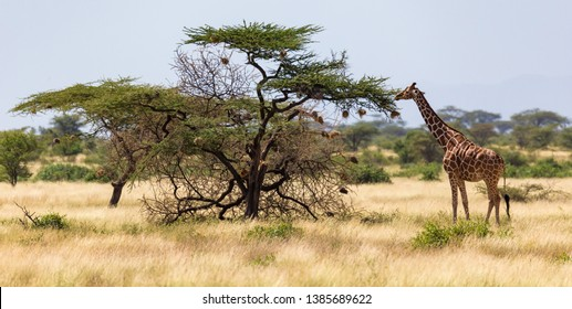 The giraffes eat leaves from the acacia trees