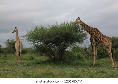 Giraffes eating from a tree in Kruger National Park South Africa