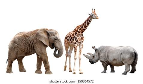 giraffes , elephant and rhino  isolated on white