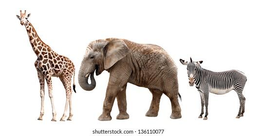 giraffes, elephant and zebras isolated on white