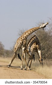 Giraffes fighting in Kruger National Park South Africa