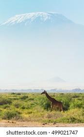 Giraffes in front of Kilimanjaro at the background shot at Amboseli national park, Kenya. Vertical shot