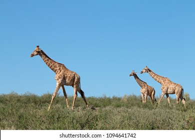 Giraffes (Giraffa camelopardalis) against a blue sky, Kalahari desert, South Africa