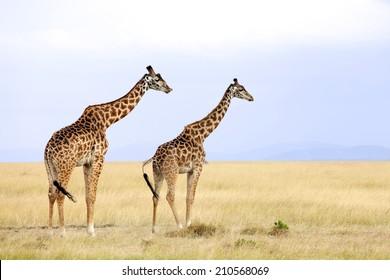 Giraffes (Giraffa camelopardalis) on the Maasai Mara National Reserve safari in southwestern Kenya.