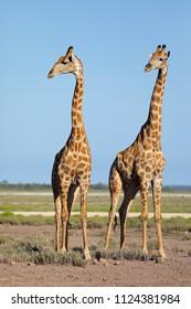Giraffes (Giraffa camelopardalis) on the plains of Etosha National Park, Namibia