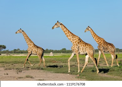 Giraffes (Giraffa camelopardalis) walking over the  plains of Etosha National Park, Namibia