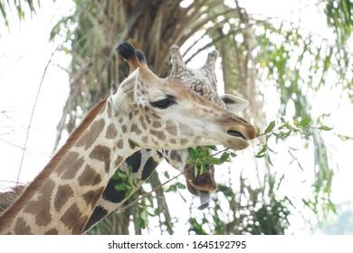 giraffes grazing on grass closeup