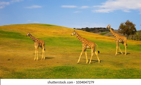 Giraffes grazing in a safari park