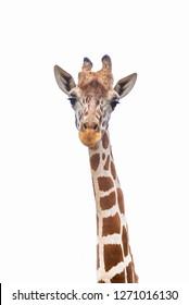 A giraffe's habitat is usually found in African savannas, grasslands or open woodlands