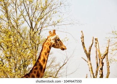 Giraffe's head and neck in between the trees, horizontal image