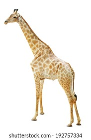 Giraffes isolate is on white background