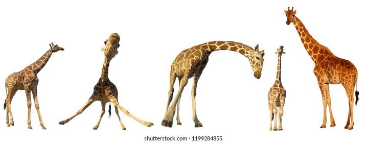 Giraffes isolated on white background