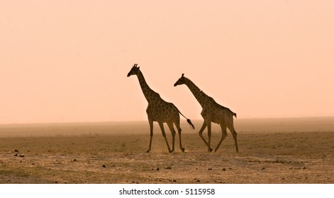 Giraffes kicking up dust on the Chobe Riverfront in Botswana