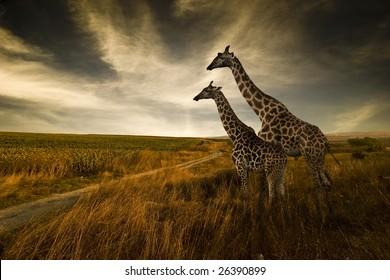 Жирафы и ландшафт