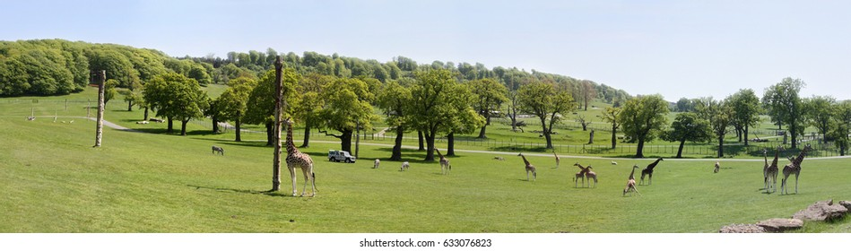 Giraffes, llamas, zebras, camels in Longleat Safari and Adventure Park. Panoramic view. Wiltshire,  UK, June, 2009.