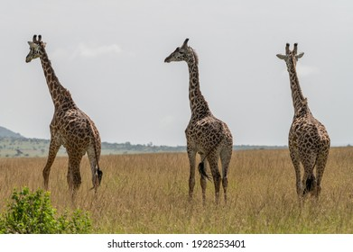 Giraffes in Masai Mara National Park, Kenya