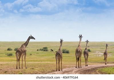 Giraffes in Masai Mara National Park Kenya