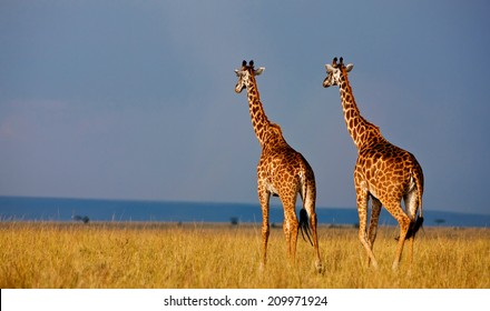 Giraffes in the Masai Mara National Reserve - Kenya