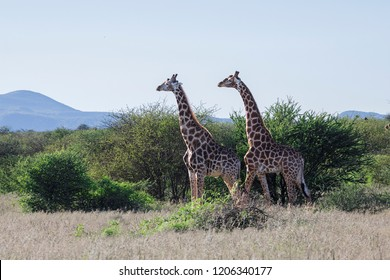 Giraffes in a natural park in Namibia