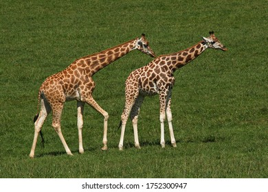 Giraffes in nature park Cabarceno near Santander,province Pas-Miera in Spain