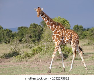 Giraffes in Ol Pejeta Conservancy Kenya