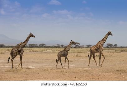 Giraffes on dusty african savannah