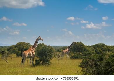 Giraffes on a green savanna after unusually wet weather