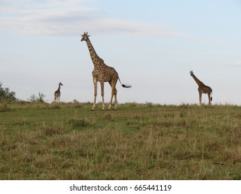 Giraffes on the horizon in Kenya