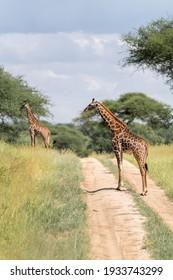 Giraffes on the road in Tanzania