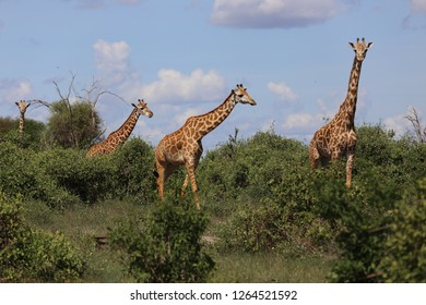 Giraffes on safari in the Tsavo East National Park in Kenya